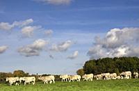 Cows in a floodplain from the river Waal near Waardenburg in the Dutch province Gelderland.