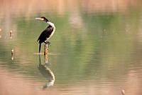 Cormorant (Phalacrocorax carbo) in a reservoir in the region of Los Serranos. Valencia. .