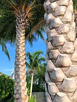 Palm trees in backyard of house, Key Biscayne, Florida, USA.