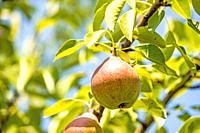 cider pear on a tree