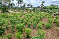 Rows of small pepper plants in the early stages of growth in Ganta, Liberia.