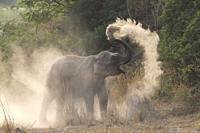 Asia, India, Uttarakhand, Jim Corbett National Park, Asian or Asiatic elephant (Elephas maximus), dust bath.