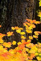 Douglas fir with vine maple, Willamette National Forest, Oregon.