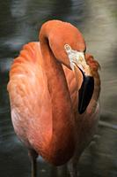 American flamingo (Phoenicopterus ruber), Florida, U. S. A. , North America.