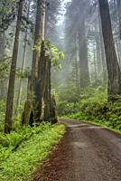 Shine shines through clouds on Cal Barrel Road in Prarie Creek Redwoods State Park, California, USA.