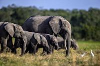 African Elephant herd feeding in the marsh in Ol pejeta, laikipia, Kenya.
