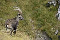 Alpine Ibex / Steinbock ( Capra ibex ), adult male, impressive horns, standing in high mountains range, watching down into valley. .