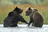 Eurasian Brown Bears / Europaeische Braunbaeren ( Ursus arctos ) fighting, struggling, in fight, standing on hind legs in the shallow water of a lake,...