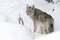 Coyote / Kojote ( Canis latrans ) in winter, stands in deep snow, watching back, looks surprised, backside view, Yellowstone NP, Wyoming, USA. .