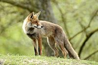 Red Fox / Rotfuchs (Vulpes vulpes) stands on a little hill, looks back over its shoulder, bright green spring colors, atmosphere. .