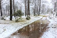 Conifer forest and snow. Ayegui. Navarre, Spain, Europe.