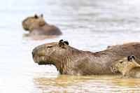 Capybara (Hydrochaeris hydrochaeris) family wading in river, Pantanal, Mato Grosso, Brazil.