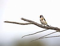 European goldfinch (Carduelis carduelis). Tablas de Daimiel. Ciudad Real province. Spain.