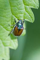 Garden Foliage Beetle, Phyllopertha horticola. Garden Chafer. 8. 5-12 mm length. Metallic green pronuntum and head with chestnut body. Antlered antenn...