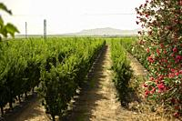 A field of vineyards in the South of Spain, (Montijo, Extremadura).