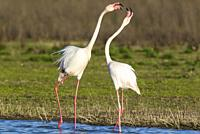 Greater Flamingo (Phoenicopterus roseus). Quarrel between two birds at the Laguna de Fuente de Piedra near the town of Antequera. This is the largest ...
