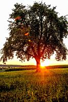 sunset in summertime with tree and meadow.
