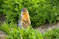 Columbian ground squirrel at Logan Pass, Glacier National Park, Montana.