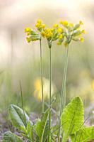 Close up photo on Cowslip flower with blury background in spring time, Gnesta, Sweden