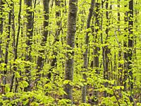 Beech forest (Fagus sylvatica) at Font dels Llops fountain site, Matagalls peak surroundings. Spring time at Montseny Natural Park. Barcelona province...