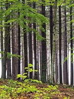 European silver fir forest (Abies alba) with some beech trees at Pla del Rovirol site. Montseny Natural Park. Barcelona province, Catalonia, Spain.