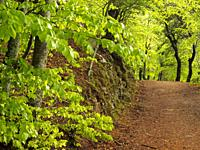 Beech forest (Fagus sylvatica) at Viladrau village countryside, Matagalls peak surroundings. Spring time at Montseny Natural Park. Barcelona province,...