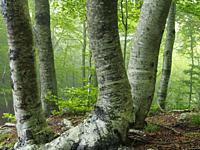 Misty beech forest (Fagus sylvatica). Springtime at Montseny Natural Park. Barcelona province, Catalonia, Spain.