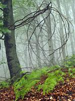Misty beech forest (Fagus sylvatica) at Coll Sobirana site. Spring time at Montseny Natural Park. Barcelona province, Catalonia, Spain.