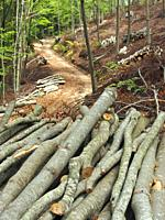 Selective logging at beech forest (Fagus sylvatica). Montseny Natural Park. Barcelona province, Catalonia, Spain.