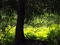 Backlit Fir tree (Abies alba) and ferns (Pteridium aquilinum). Montseny Natural Park. Barcelona province, Catalonia, Spain.
