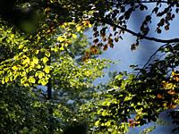 Backlit beech forest leaves. Montseny Natural Park. Barcelona province, Catalonia, Spain.
