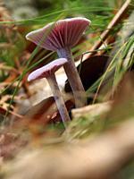 Mushroom. Montseny Natural Park. Barcelona province, Catalonia, Spain.
