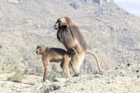 Africa, Ethiopia, Rift Valley, Debre Libanos, Gelada or Gelada baboon (Theropithecus gelada), dominant male coupling with a female.