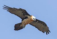 Africa, Ethiopia, Rift Valley, Debre Libanos, Bearded vulture (Gypaetus barbatus), in flight.