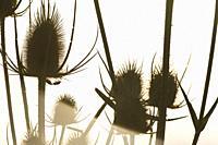 Cotton thistle (Onopordum acanthium). Spain.