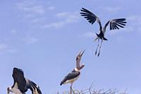 Africa, Ethiopia, Rift Valley, Ziway lake, Marabou stork (Leptoptilos crumenifer), in flight.