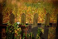 Picket fence with flowers growing on it, in Heerlen in the province of Limburg in the Netherlands. Shot with Holga lens for selective focus.