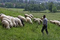 berger et troupeau de moutons dans la campagne autour de Zakopane, region Podhale, Massif des Tatras, Province Malopolska (Petite Pologne), Pologne, E...