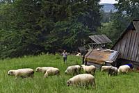 troupeau de moutons pres d'une fromagerie d'alpage dans la campagne autour de Zakopane, region Podhale, Massif des Tatras, Province Malopolska (Petite...