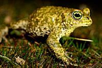 Natterjack toad (Epidalea calamita) in a pond of Lozoyuela, Madrid, Spain