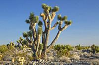Joshua tree, Desert National Wildlife Refuge, Nevada.