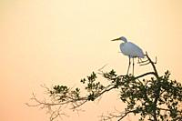 Great egret, Egretta alba, on tree.