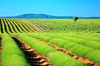 Plateau de Valensole, champs de lavandes au printemps, Alpes de Haute Provence, 04, PACA.