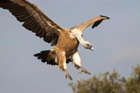 Griffon Vulture at Faia Brava Reserve, Portugal.