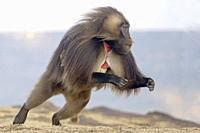 Afrique, Ethiopie, Vallée du Rift, Debre Libanos, Gélada (Theropithecus gelada), mâle sautant / Africa, Ethiopia, Rift Valley, Debre Libanos, Gelada o...