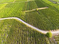 Vineyards in Eguisheim, Haut-Rhin, Grand Est, France.