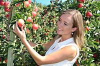 Young smiling woman picking red apples in Österlen fruit district in Rörum, Scania, Sweden.