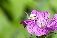 Crab spider (Misumena vatia) on Geranium flower, East Sussex, UK.