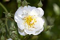Climbing rose, Rosa 'Rambling Rector' flower head.