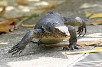 Monitor lizard, Singapore.